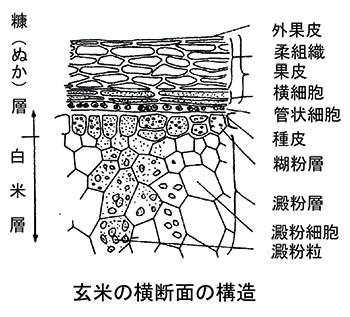 図2.玄米の横断面の構造