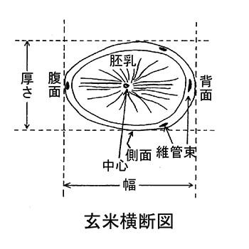 図1.玄米横断図